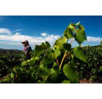French Wine Volumes to Recover After Record-Early Grape Harvest